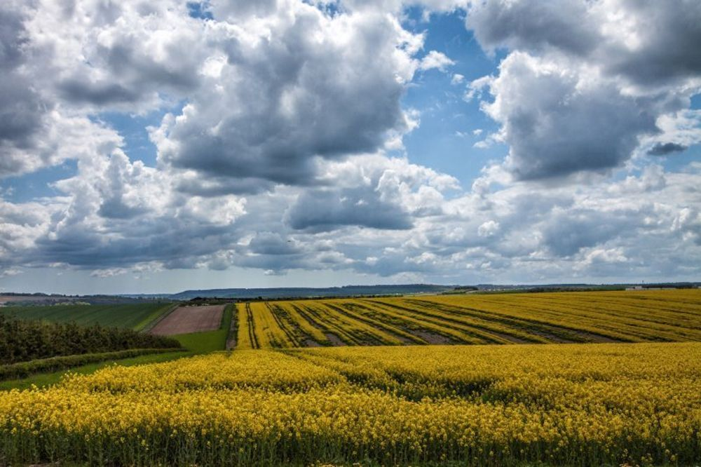 yellow-field-england.jpg